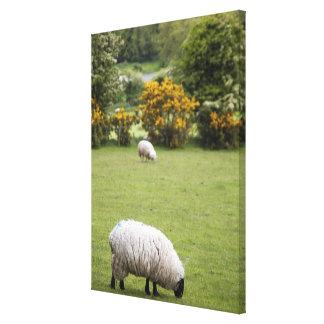 Irlanda occidental, esquilada por completo negro-h lienzo envuelto para galerías
