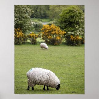 Irlanda occidental, esquilada por completo negro-h póster