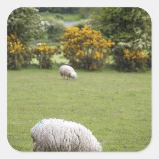 Irlanda occidental, esquilada por completo pegatina cuadrada