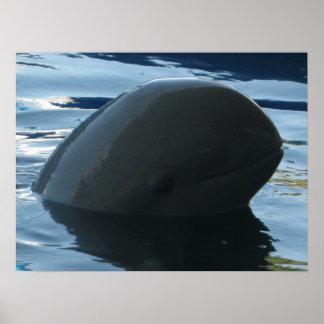 Irrawaddy Dolphin Peek-A-Boo Poster