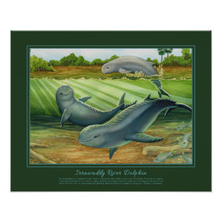 Irrawaddy River Dolphin Poster