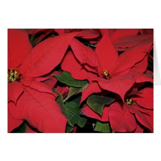 Isaiah 7 Red Poinsettia Christmas Card