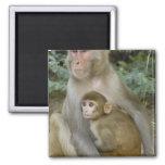Rhesus Macaques Macaca mulatta) mother & baby Magnet