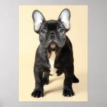 Studio portrait of French bulldog puppy standing Poster