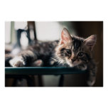 Young Male Tabby Cat 2 Poster