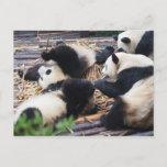 Pandas, Chengdu, China Postcard