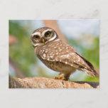 Spotted owl on morning flight. postcard