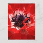 Red Anemone Postcard