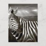 Kenya. Black & white of zebra and plain. Postcard