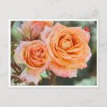 Rosa ` Yachiyo-nishiki' (Yachiyo brocade) Postcard