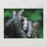 AFRICA, Tanzania, Gombe Nat'l Park, Male Postcard