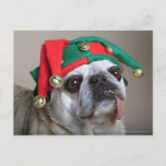 Funny looking pug with tongue hanging out postcard