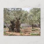 Olive trees in Gethsemane, Jerusalem, Israel Postcard