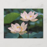 Lotus flower in blossom, China Postcard