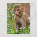 Rhesus Monkey Baby, Monkey Temple, Jaipur Postcard