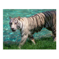 White tiger against blue water walking photograph post card