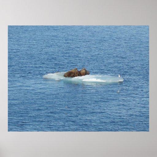 Isla ártica de la morsa posters