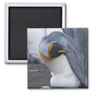 Isla del sur de Georgia, puerto del oro. Pingüino  Imán Cuadrado