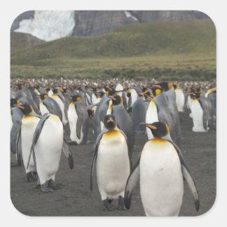 Isla del sur de Georgia, puerto del oro. Pingüino Colcomanias Cuadradas