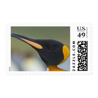Isla del sur de Georgia, puerto del oro. Pingüino Envio