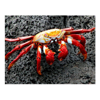 Isla Seymour, Galapagos, Red crab Postcard