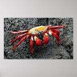 Isla Seymour, las Islas Galápagos, cangrejo rojo Posters