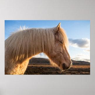 Islandia. Retrato del caballo islandés Póster