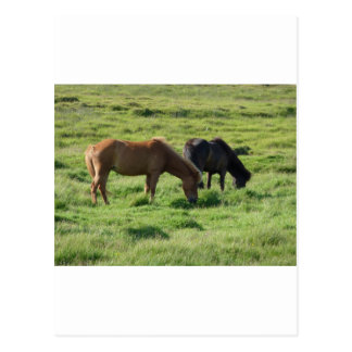 Islandpferde Postcard