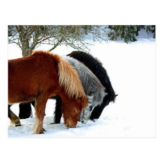 IslandsHästar - horse Postcard