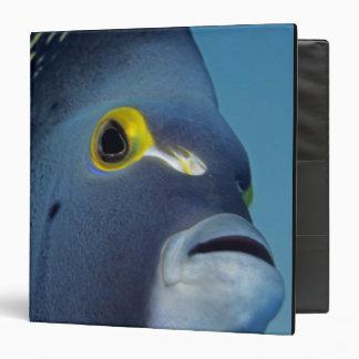 "Islas Caimán, Pomacanthus francés del Angelfish Carpeta 1 1/2"""