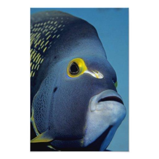 Islas Caimán, Pomacanthus francés del Angelfish Fotografías