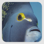 Islas Caimán, Pomacanthus francés del Angelfish Pegatina Cuadrada
