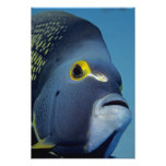 Islas Caimán, Pomacanthus francés del Angelfish Impresion Fotografica
