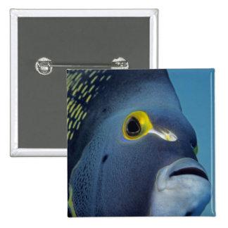 Islas Caimán, Pomacanthus francés del Angelfish Pin Cuadrado