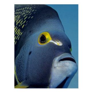 Islas Caimán, Pomacanthus francés del Angelfish Postales