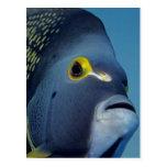 Islas Caimán, Pomacanthus francés del Angelfish Tarjetas Postales