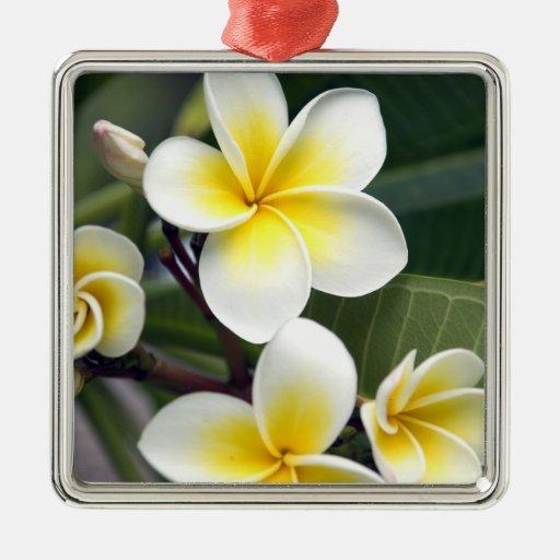 Islas de cocinero de la flor del Frangipani Adorno
