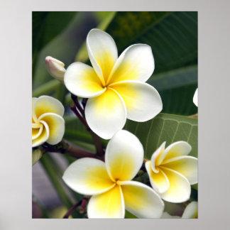 Islas de cocinero de la flor del Frangipani Impresiones
