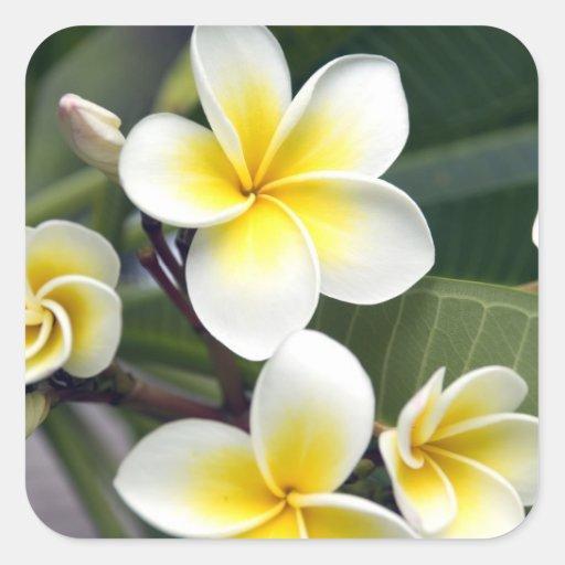 Islas de cocinero de la flor del Frangipani Pegatina Cuadradas Personalizadas