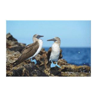 Islas de las Islas Galápagos, isla de Isabela Lienzo Envuelto Para Galerías