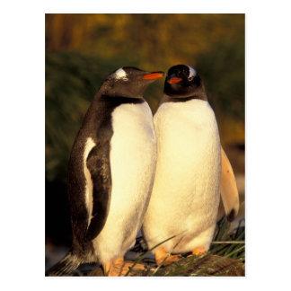 Islas de Malvinas. Pingüinos de Gentoo.  Postal