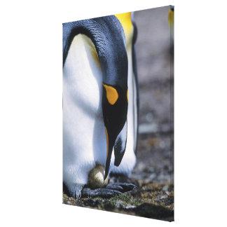 Islas Malvinas. El pingüino de rey tiende el solo  Lienzo Envuelto Para Galerías