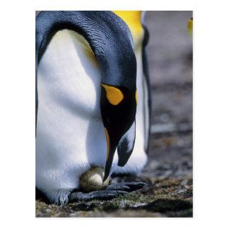 Islas Malvinas. El pingüino de rey tiende el solo Postales