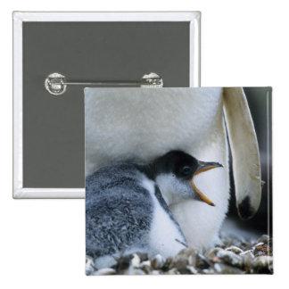 Islas Malvinas. Polluelo del pingüino de Gentoo al Pin Cuadrada 5 Cm