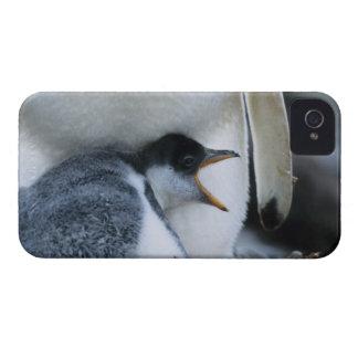 Islas Malvinas. Polluelo del pingüino de Gentoo al iPhone 4 Case-Mate Cobertura