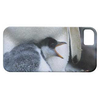 Islas Malvinas. Polluelo del pingüino de Gentoo al iPhone 5 Fundas