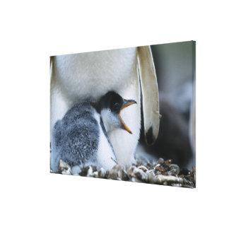 Islas Malvinas. Polluelo del pingüino de Gentoo al Lona Envuelta Para Galerías