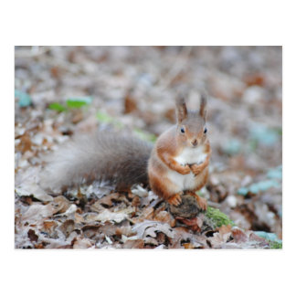 Isle of Wight Red Squirrel Post Card