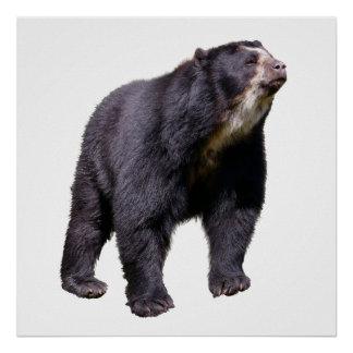 Isolated Andean bear Poster