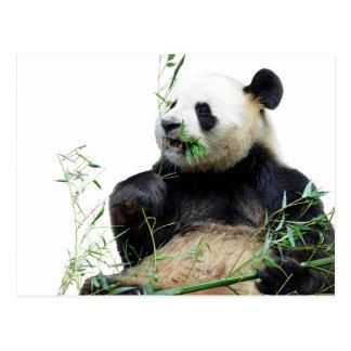 Isolated giant panda eating bamboo postcard